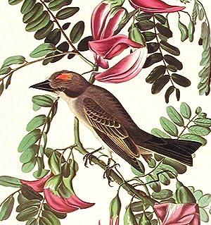 "Gray Tyrant. From ""The Birds of America"" (Amsterdam Edition): AUDUBON, John James (1785-..."