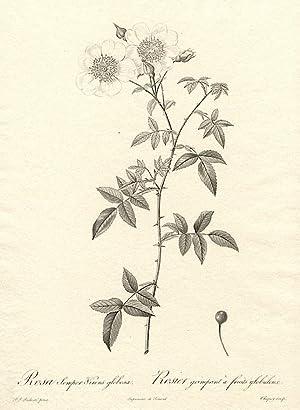 Rosa Semper-Virens globosa / Rosier grimpant à fruits globuleux [Evergreen Rose]: REDOUTÉ, ...