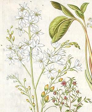Venus' looking-glass] Onobychis Belgarum; [Lesser St. Bernard's lily] Phalngium ramosum; ...