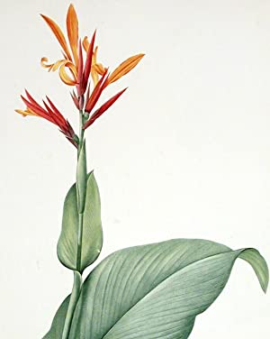 Canna Indica / Balsier des Indes [Socalled-Yellow Canna]: REDOUTÉ, Pierre-Joseph (1759-1840)