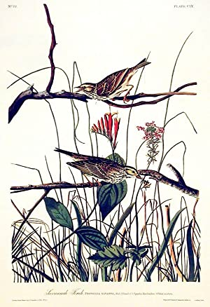 "Savannah Finch. From ""The Birds of America"" (Amsterdam Edition): AUDUBON, John James (..."