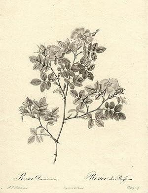 Rosa Dumetorum / Rosier des Buissons [Corymb Rose?]: REDOUTÉ, Pierre-Joseph (1759-1840)