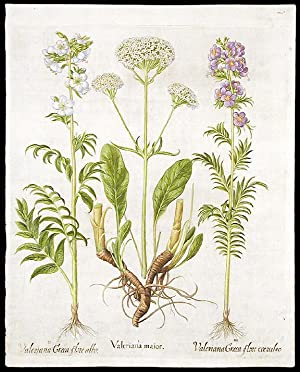 Valeriana maior [Cretan spikenard]; Valeriana Græca flore albo [White Jacob's ladder or Greek ...