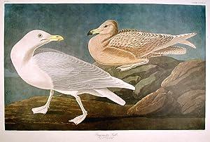 "Burgomaster Gull. From ""The Birds of America"" (Amsterdam Edition): AUDUBON, John James (..."