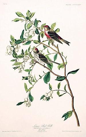 "Lesser Red-Poll. From ""The Birds of America"" (Amsterdam Edition): AUDUBON, John James (..."
