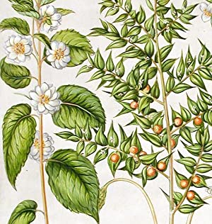Butcher's broom] Ruscus; [Double-flowered mock orange] Syringa Italica flore albo plens; [Mock...