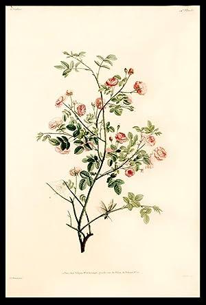 Rameau de Rose-pompon: PREVOST, Jean Louis