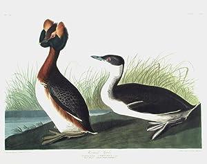"""Horned Grebe. From """"The Birds of America"""": AUDUBON, John James"""