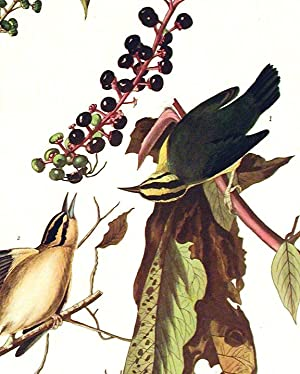 """Worm eating Warbler. From """"The Birds of America"""" (Amsterdam Edition): AUDUBON, John James..."""