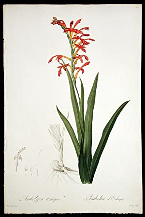 Antholyza Aethiopica / Antholise d'Ethiopie [Flag Lily, Flag-leaved Antholyza]: REDOUTÉ, ...