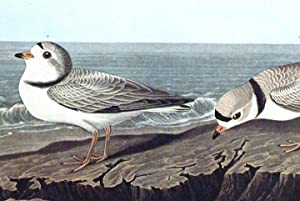 "Piping Plover. From ""The Birds of America"" (Amsterdam Edition): AUDUBON, John James (1785..."