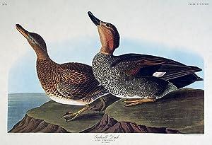 "Gadwall Duck. From ""The Birds of America"" (Amsterdam Edition): AUDUBON, John James (1785-..."