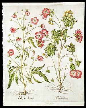 Hemp-leaved althaea] Alcea vulgaris; [Musk mallow] Alcea Fruticans: BESLER, Basil (1561-1629)