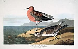"""Red-breasted Sandpiper. From """"The Birds of America"""" (Amsterdam Edition): AUDUBON, John ..."""