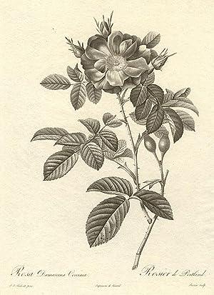 Rosa Damascena Coccinea / Rosier de Portland: REDOUTÉ, Pierre-Joseph (1759-1840)