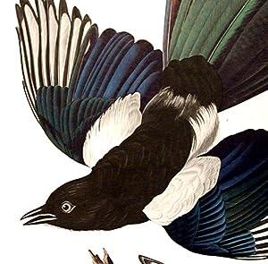 "American Magpie. From ""The Birds of America"" (Amsterdam Edition): AUDUBON, John James (..."