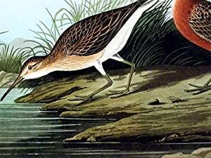 "Pigmy Curlew. From ""The Birds of America"" (Amsterdam Edition): AUDUBON, John James (1785-..."
