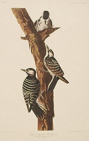 "Red-Cockaded Woodpecker. From ""The Birds of America"" (Amsterdam Edition): AUDUBON, John ..."