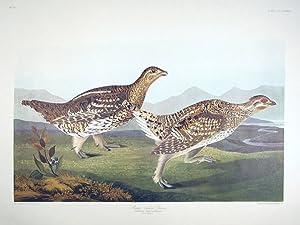 "Sharp-tailed Grouse. From ""The Birds of America"" (Amsterdam Edition): AUDUBON, John James..."