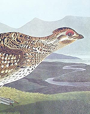 "Sharp-tailed Grouse. From ""The Birds of America"" (Amsterdam Edition): AUDUBON, John James (..."