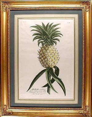 Ananas [Pineapple]: EHRET, After George Dionysius (1710-1770)