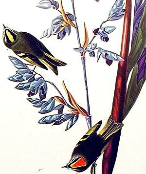 "Golden crested Wren. From ""The Birds of America"" (Amsterdam Edition): AUDUBON, John James..."