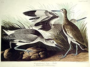"Semipalmated Snipe or Willet. From ""The Birds of America"" (Amsterdam Edition): AUDUBON, ..."