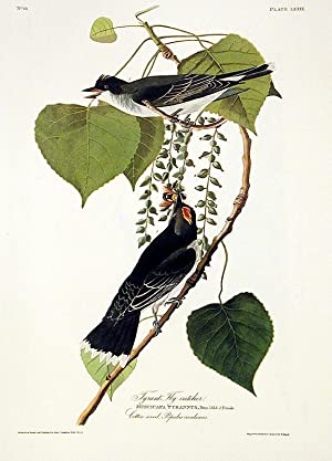 """Gray Tyrant or Pipiry Fly-catcher. From """"The Birds of America"""" (Amsterdam Edition): AUDUBON..."""