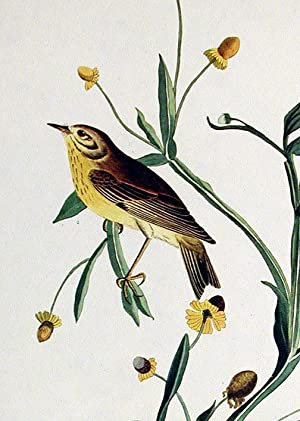 "Small Yellow Red-poll Warbler. From ""The Birds of America"" (Amsterdam Edition): AUDUBON, ..."