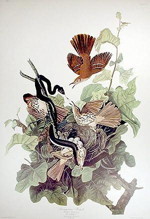"Ferruginous Thrush. From ""The Birds of America"" (Amsterdam Edition): AUDUBON, John James ..."