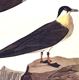"Arctic Jager. From ""The Birds of America"" (Amsterdam Edition): AUDUBON, John James (1785-..."