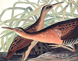"Fresh Water Marsh Hen. From ""The Birds of America"" (Amsterdam Edition): AUDUBON, John James..."