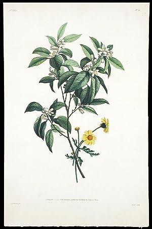 Etudes de fleurs d'Orange et de Crisaine: PREVOST, Jean Louis