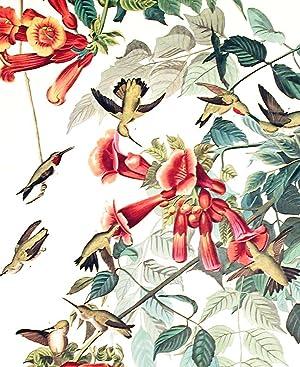 "Ruby-throated Humming Bird. From ""The Birds of America"" (Amsterdam Edition): AUDUBON, ..."