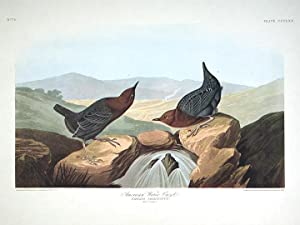 "American Water Ouzel. From ""The Birds of America"" (Amsterdam Edition): AUDUBON, John James ..."