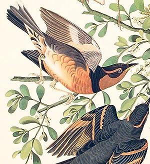 "Mountain Mocking-bird, Varied Thrush. From ""The Birds of America"" (Amsterdam Edition): ..."