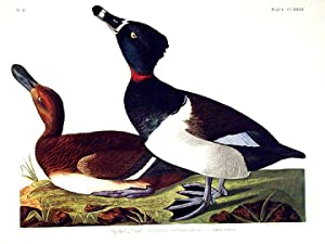 "Tufted Duck. From ""The Birds of America"" (Amsterdam Edition): AUDUBON, John James (1785-..."