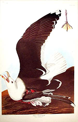 "Black-Backed Gull. From ""The Birds of America"" (Amsterdam Edition): AUDUBON, John James (..."