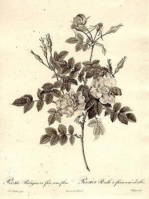 Rosa Rubiginosa flore semi-pleno / Rosier Rouille: REDOUTÉ, Pierre-Joseph (1759-1840)