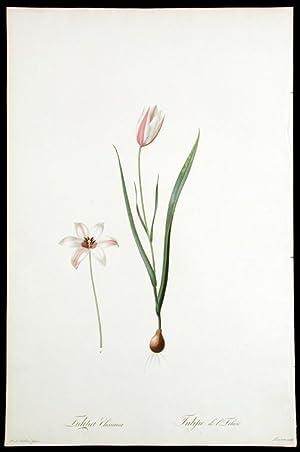 Tulipa Clusiana / Tulipe de l'Ecluse [Lady Tulip]: REDOUTÉ, Pierre-Joseph (1759-1840)