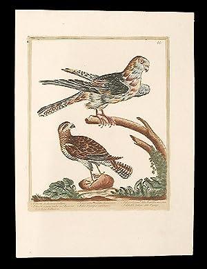 Faucon de diverses couleurs [Multi-coloured Falcon]; Faucon a queue anelée ou l'...