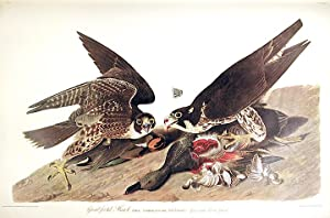 """Great-footed Hawk. From """"The Birds of America"""" (Amsterdam Edition): AUDUBON, John James (..."""