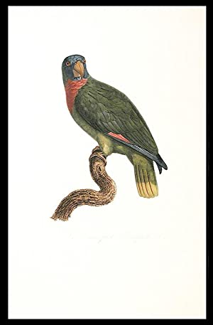 Le Perroquet Bouquet (Red-necked Amazon [Amazona arausiaca])]: BARRABAND, Jacques (1767/8-1809)