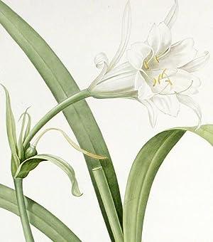 Pancratium Calathiforme / Pancrace à grand néctaire [Basket Flower]: REDOUTÉ, ...