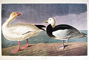 "Snow Goose. From ""The Birds of America"" (Amsterdam Edition): AUDUBON, John James (1785-..."