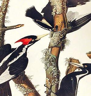 "Ivory-billed Woodpecker. From ""The Birds of America"" (Amsterdam Edition): AUDUBON, John ..."