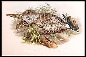 Himalayan Pucras Pheasant] Pucrasia macrolopha: GOULD, John (1804-1881)