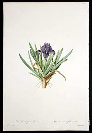 Iris Pumila floribus Violaceis / Iris Naine à fleurs violettes [Dwarf Bearded Iris]: ...