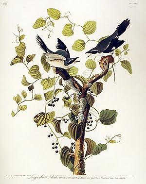 "Loggerhead Shrike. From ""The Birds of America"": AUDUBON, John James"