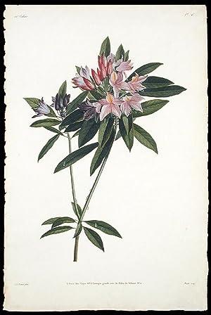 Rameau de Rosage du Levant, ou Rhododendron: PREVOST, Jean Louis